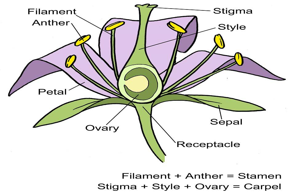 Flower Structure Diagram Rhs Campaign For School Gardening Manual Guide