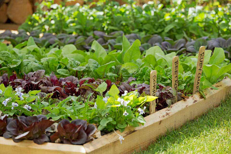 Growing vegetables in school gardens rhs campaign for for School garden designs