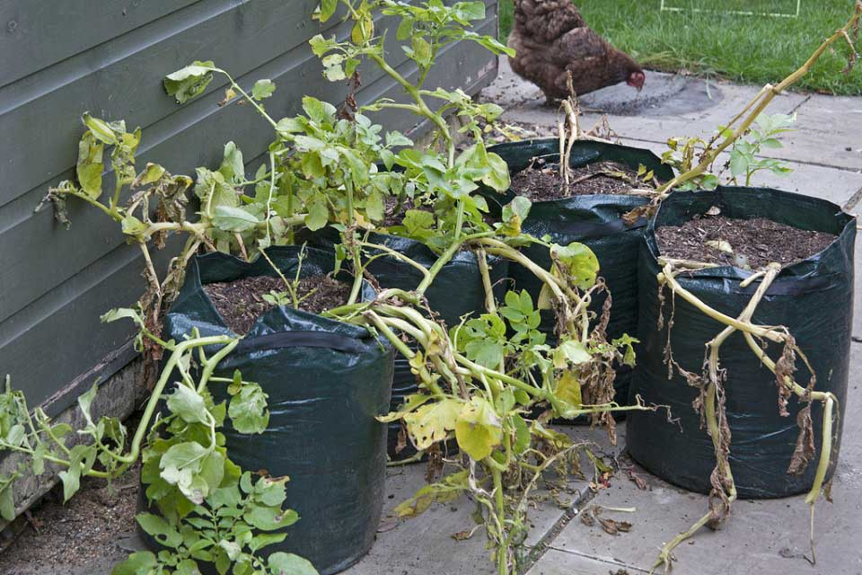 How To Grow Potatoes In Containers Rhs Campaign For School Gardening