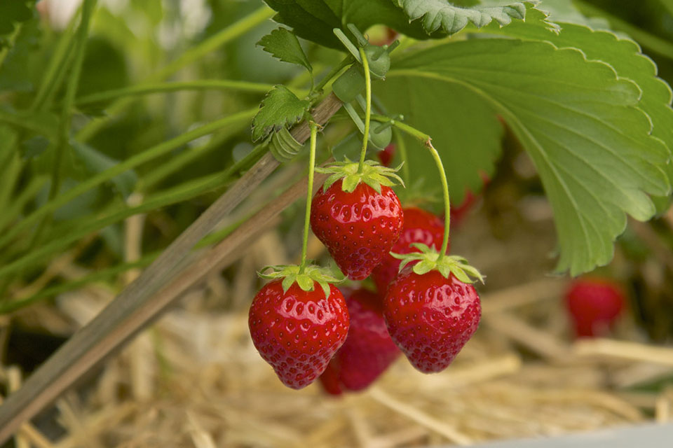 Plant strawberries rhs campaign for school gardening - Plant strawberries spring ...