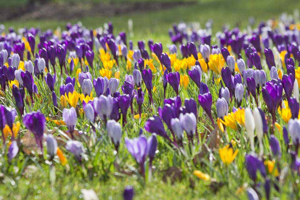 Spring flower spotter rhs campaign for school gardening crocus mightylinksfo Image collections