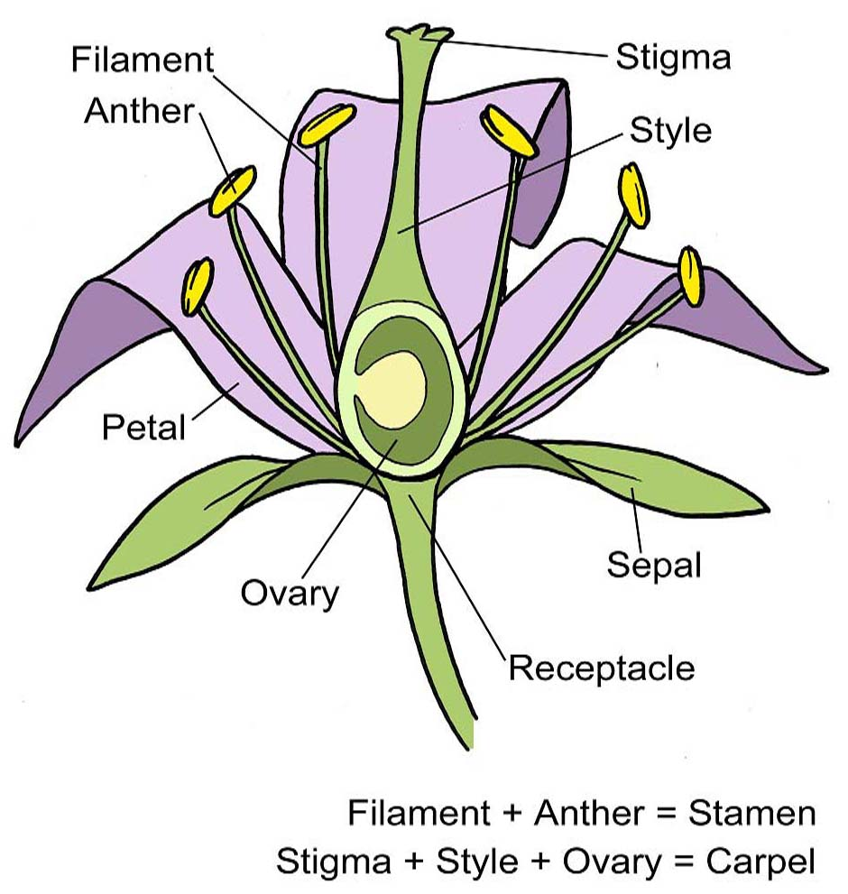Parts Of Flower Diagram Labeled